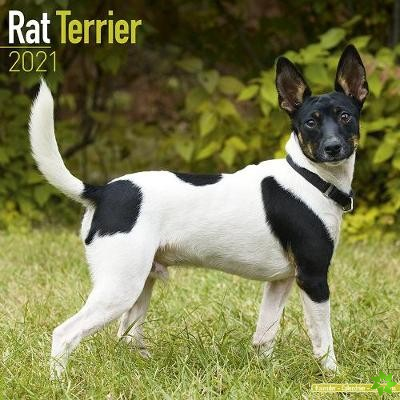 Rat Terrier 2021 Wall Calendar