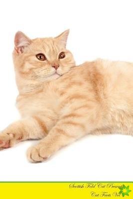 Scottish Fold Cat Presents